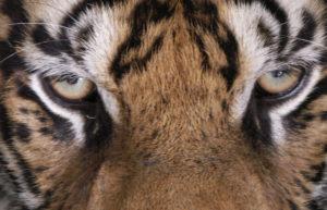 tiger_face